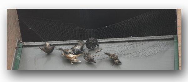 pigeons_Staquet.jpg